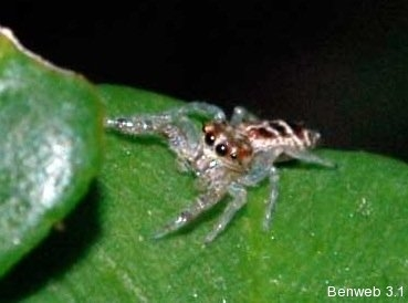 jumpingspider_20111130