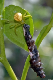 spider_w_caterpillar_20111130