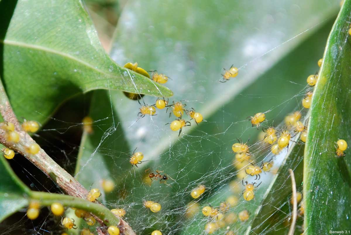 spiderlets_yellow_20111109-2