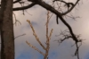 poinciana_no_buds