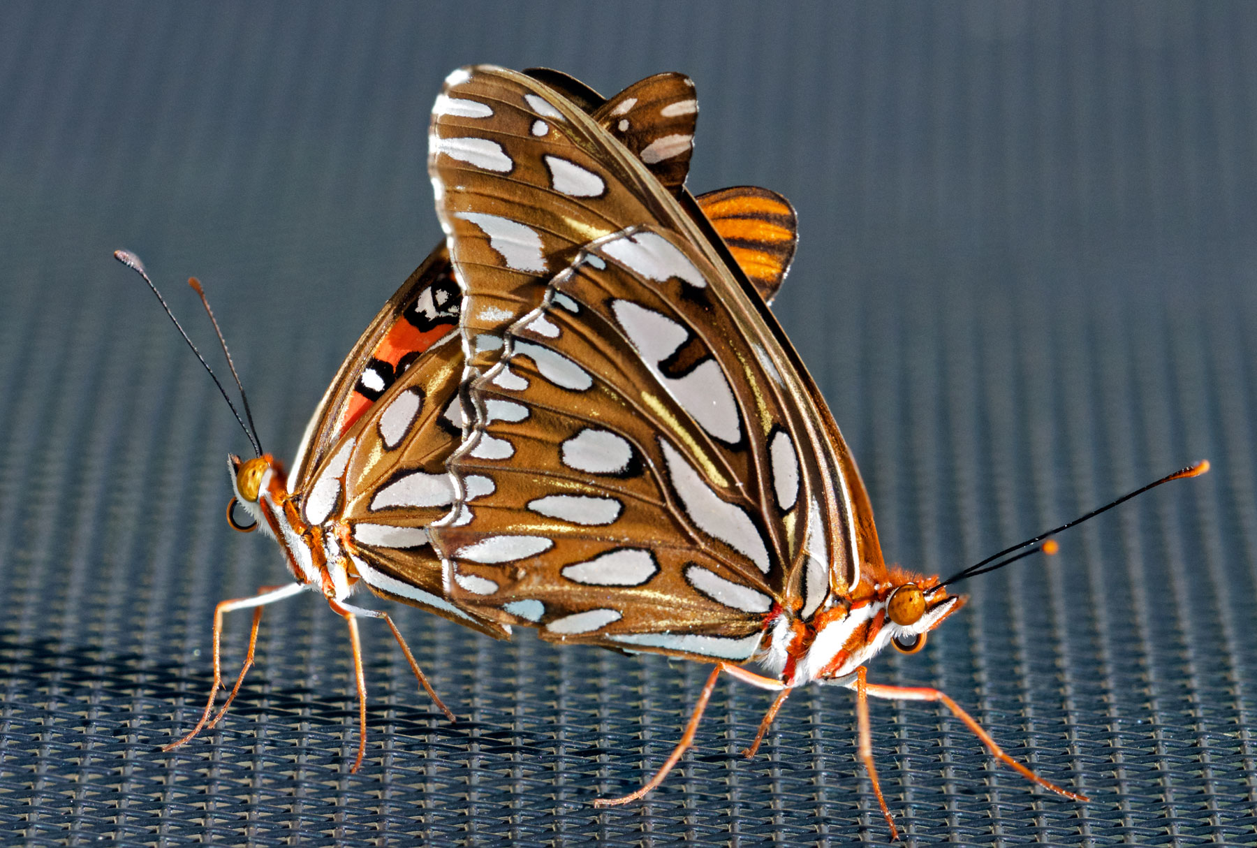 Gulf Fritillaries (<em>Agraulis vanillae</em>) fulfilling their genetic imperative. Boca Raton, FL, September 15, 2015.