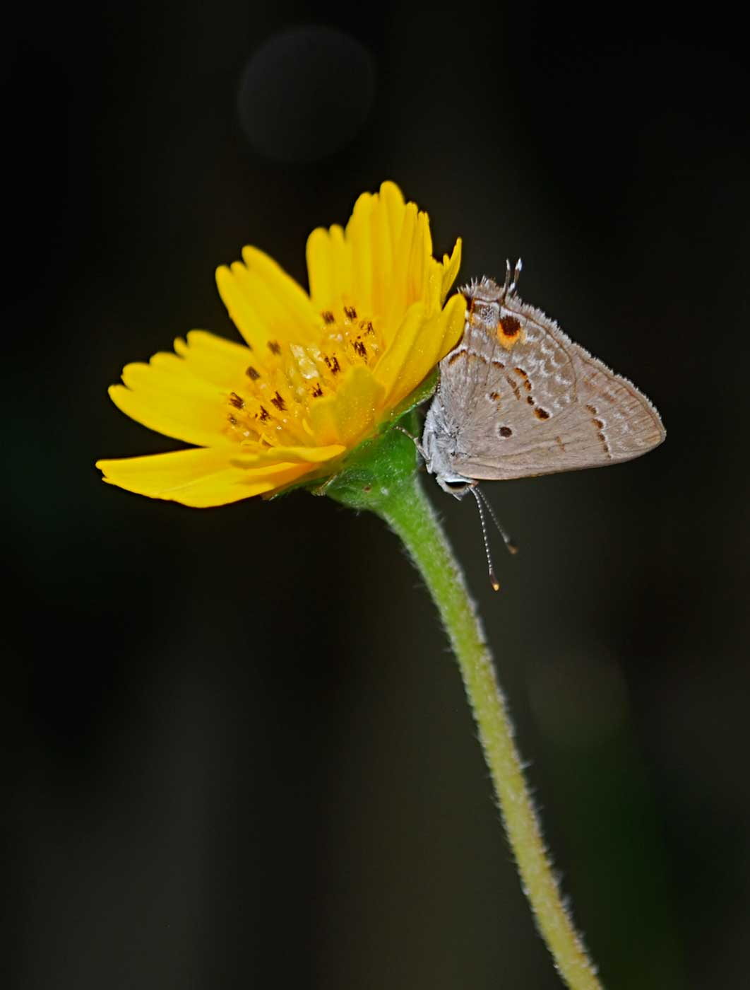 mallow-scrub-hairstreak-vertical
