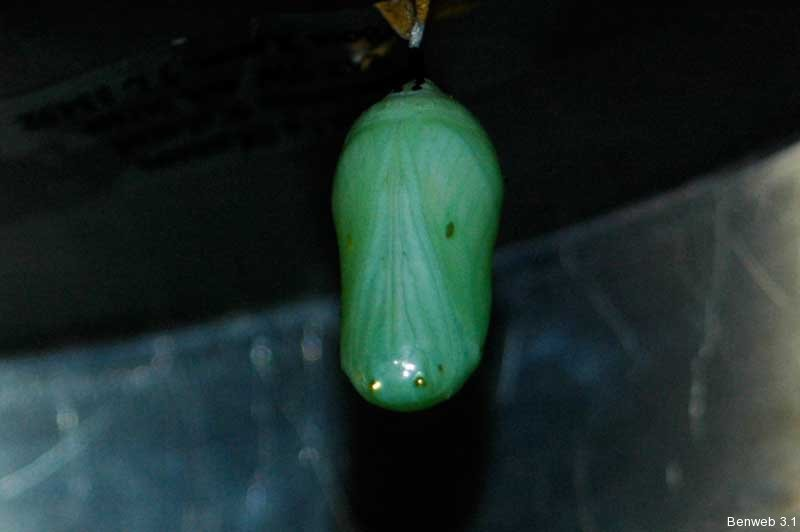 monarch_chrysalis.jpg