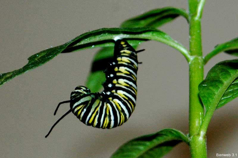 monarch_larva.jpg