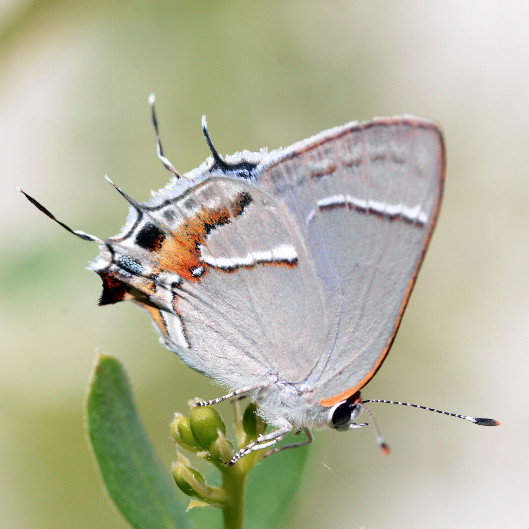 Martial Scrub-Hairstreak (<em>Strymon martialis</em>). Boca Raton, FL, October 17, 2014.
