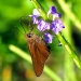 Monk Skipper (<em>Asbolis capucinus</em>) nectaring on Blue Porterweed (<em>Stachytarpheta jamaicensis</em>). Boca Raton, FL, September 20, 2015.
