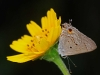 mallow-scrub-hairstreak