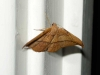 unknown-moth-2