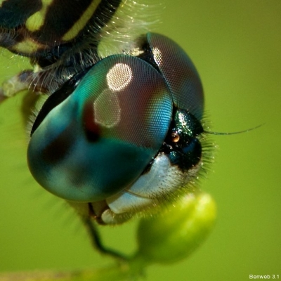blue_dasher_20120603_face