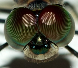 Pachydiplax_longipennis_face_20121103