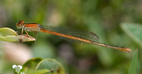 ischnura_hastata_imm_female_20120424