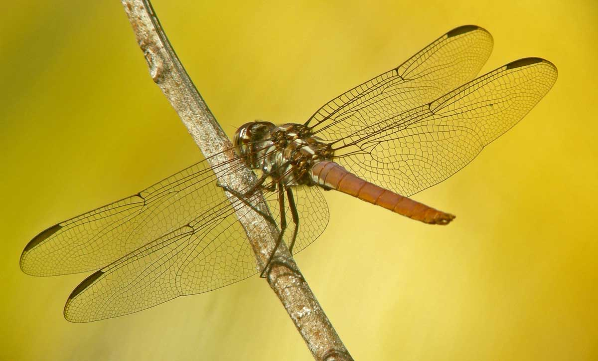 orthemis_ferruginea_female_20111223