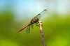 orthemis_ferruginea_20071130