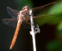 orthemis_ferruginea_female_20111215