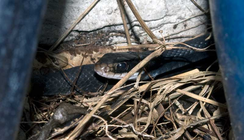 coluber_constrictor_20120216