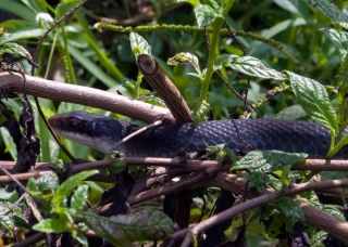 coluber_constrictor_20120515