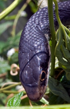 coluber_constrictor_head_20120515