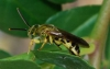 agapostemon_horizontal_20120119