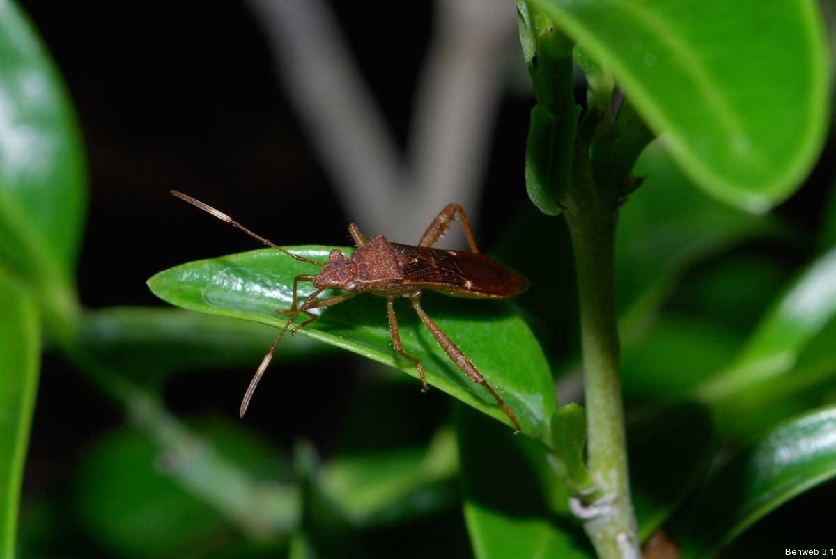 broad-headed-bug-left