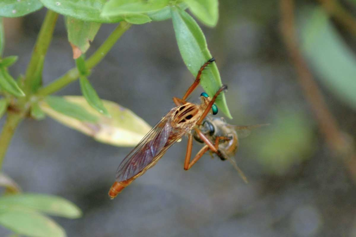 Robber Fly (Diogmites? sp.)