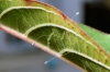 lacewing_eggs_20120118