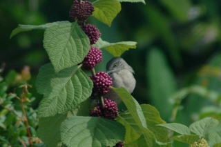 callicarpa_and_mimus