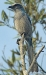 jays, corvids, mockingbirds, thrashers