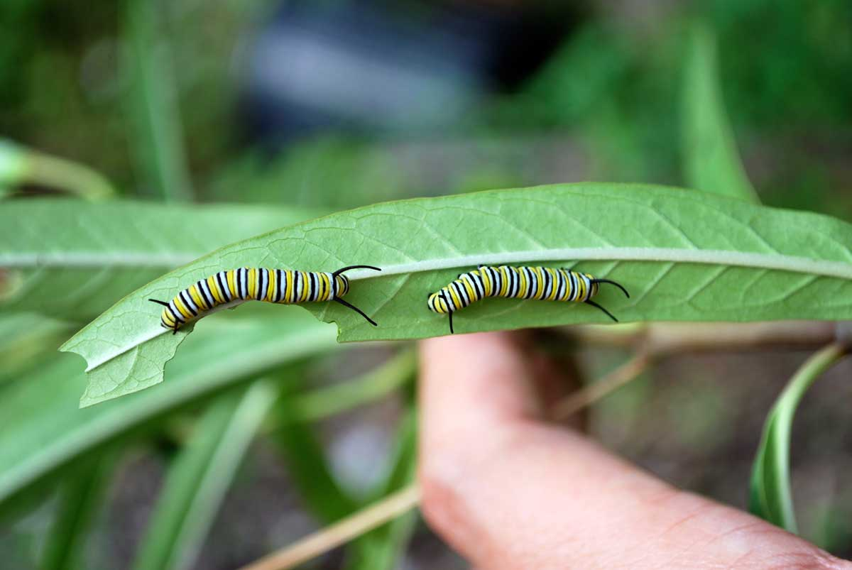 monarch_caterpillar_20111121