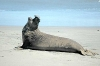 elephant_seal_july09