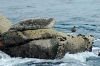 harbor_seal_and_gull