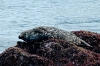 harbor_seal_speckled
