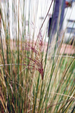 muhly_grass_panicle_loose