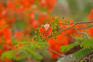 poinciana_detail