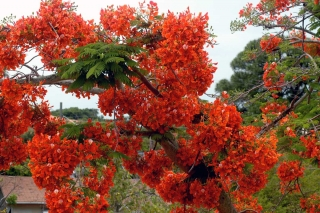 poinciana_fullbloom