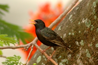 starling_poinciana