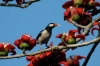 pied_starling_2009