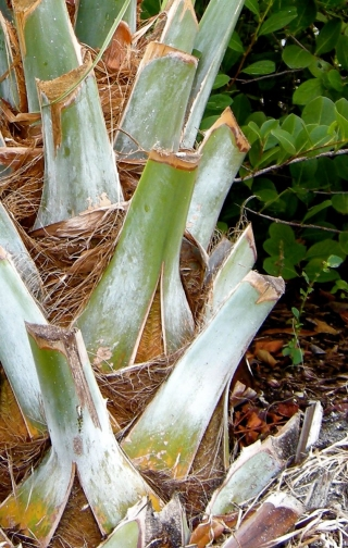 cabbage_palm_boots