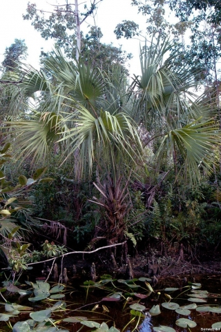 cabbage_palm_canal