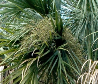 cabbage_palm_fruit