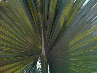 cabbage_palm_no_hastula