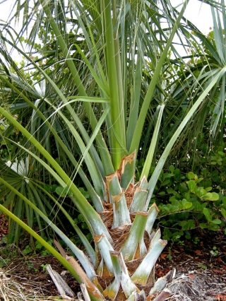 sabal_palmetto_trunk