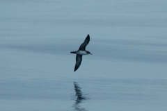 pink-footed_shearwater_ventral
