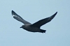 south-polar_skua