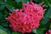 ixora_bloom