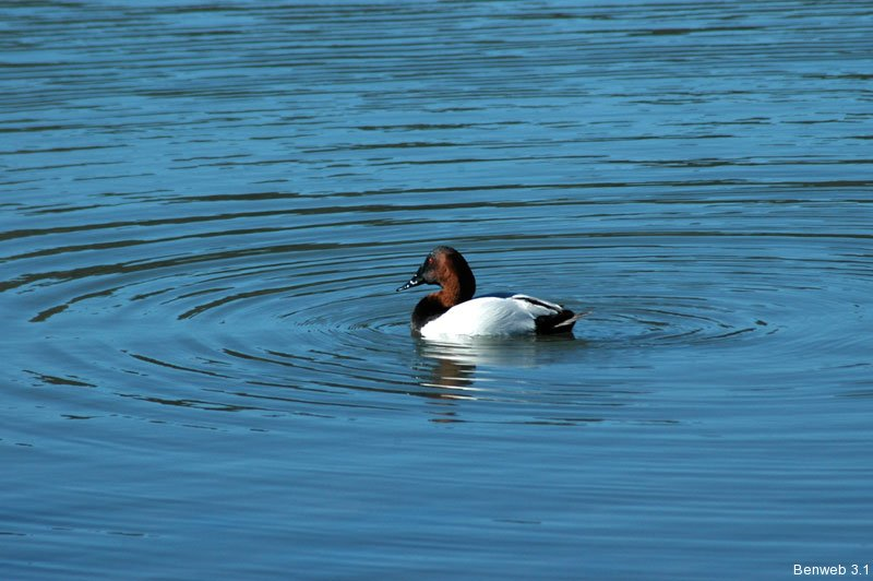 canvasback_martinez.jpg