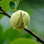 Pond Apple