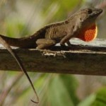 Brown Anole 1