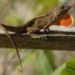 Brown Anole 2