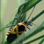 Giant Milkweed Bug