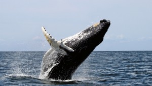 Humpback Whale leaping. Photo by Whit Welles, from Wikipedia.